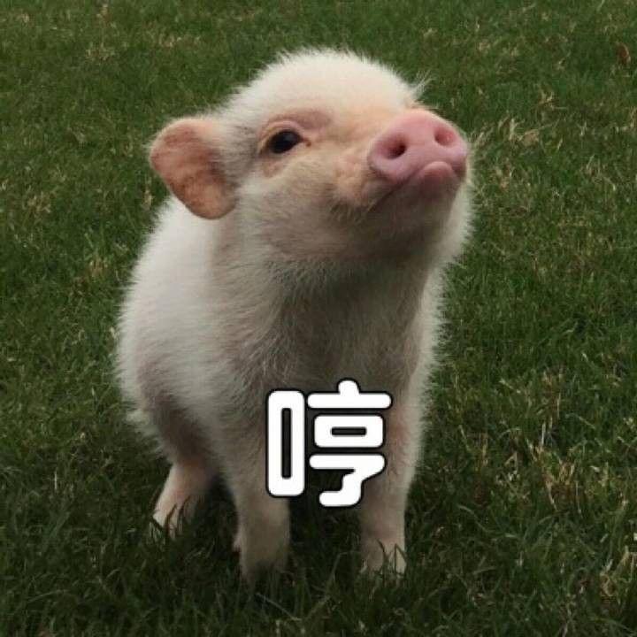 然而并不是所有猪都是好吸的,只有刚出生的猪仔才是可爱的(长大肥了